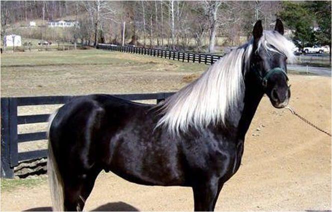 black-silver-horse